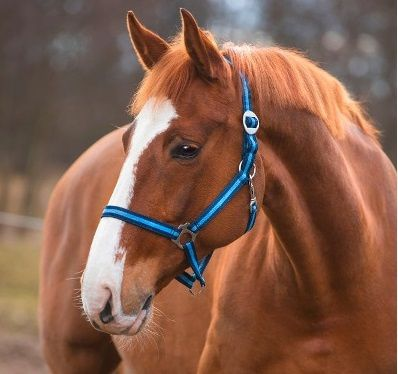 Paarden / pony halster blauw